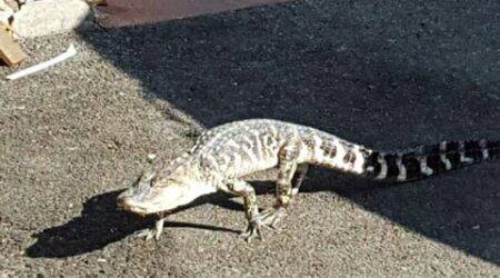 Alligator found crossing NYC street dies unexpectedly