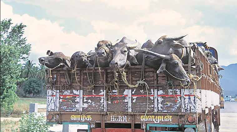 cow slaughter, cow slaughter house, Animal slaughter, Food Safety Act, animals slaughterhouse, Transport Ministry, transportation of animals, Motor Vehicles Act, Road Transport Offices, FSA, India latest news, indian express