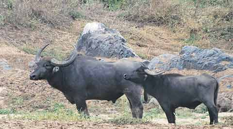 wild water buffaloes, wild buffaloes, Kolamarka wild water buffaloes, Gadchiroli district, wild water buffaloes extinctinction, indian express