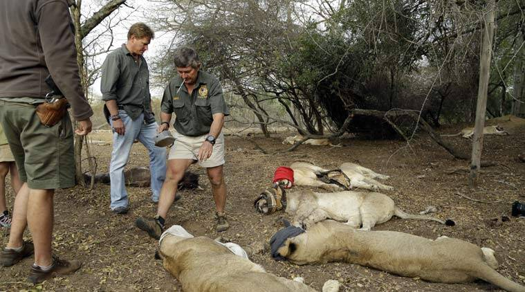Poacher eaten by lions he was hunting in South Africa