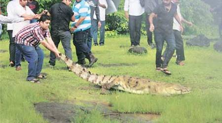 crocodile, crocodile in Bhandup, bhandup crocodile , reptile out on walk, BMC, RAWW, mumabi news, indian express