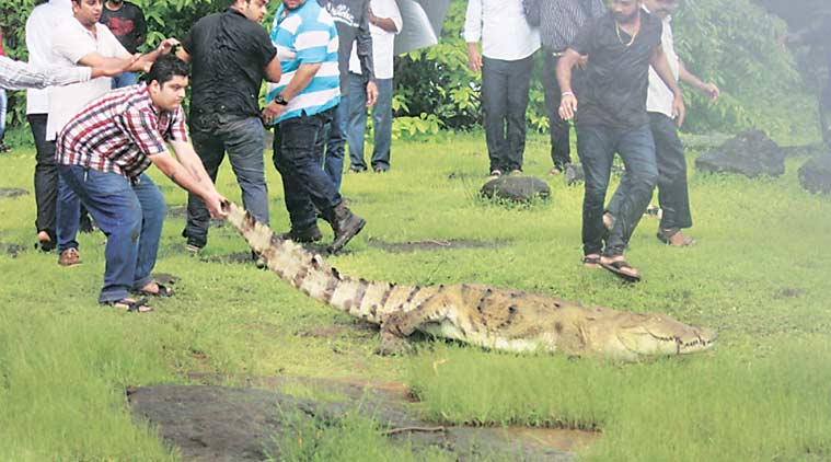 crocodile, crocodile in Bhandup, bhandup crocodile , reptile out about walk, BMC, RAWW, mumabi news, indian express
