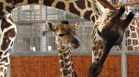 Baby giraffe, whose birth was broadcast live on the internet, dies at Dallas Zoo