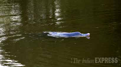 Dolphin gets stranded in Amba river
