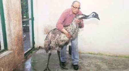 Wildlife Protection: Rescued emu to find a new home soon