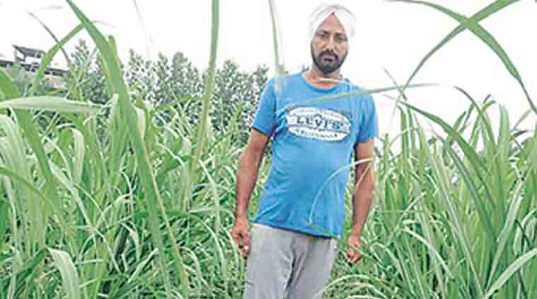 turmeric crop, paddy, mulching, mulching sugarcane-garlic, indian express, mulching farming, indian express