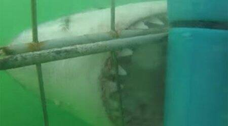 Viral video: Angry shark bites at cage, terrifiestourists