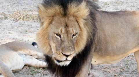 lion. lion killed, zimbabwe lion killed, man kills lion, man kill lion, dentist kill lion, dentist kills lion, usa, american kills lion, american kills lion, lion hunt, bloomington news, world news