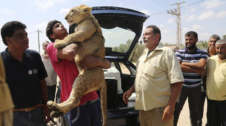 Ibrahim Al-Jamal, 17, hugs Mona, the female lion cub, as his father Saduldin, 54, right, looks on, before the two lion cubs depart from Gaza to the Erez border crossing between Israel and the Gaza Strip, in Beit Hanoun, in the northern Gaza Strip, Friday, July 3, 2015. A pair of lion cubs are stuck at a Gaza-Israel border crossing en route to a Jordan animal sanctuary, after being kept for a year by a family in crowded Gaza. Saduldin al-Jamal had bought the cubs from the Gaza zoo, hit during last summer's Israel-Hamas war. His family would take them to parks or the beach and children — those brave enough — would come up to pet them. (AP Photo/Adel Hana)