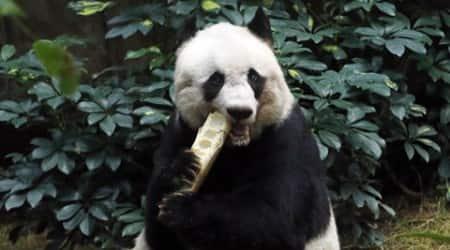 VIDEO: Oldest ever giant panda celebrates 37th birthday with veggiecake