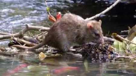 Leptospirosis cases: BMC looks for more rat traps, rat killers to check spread