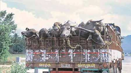 Govt lays down rules to ferry animals meant for slaughter