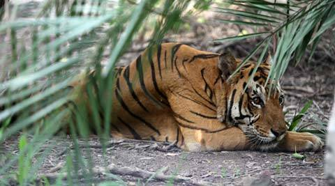 Tiger is ambassador of India's conservation efforts: experts