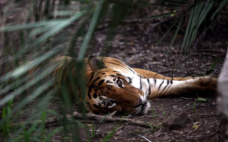 tiger day, world tiger day, international tiger day, tigers day, india tigers, tigers in india, tiger figures, save the tiger, tiger population, india tiger population, india news,