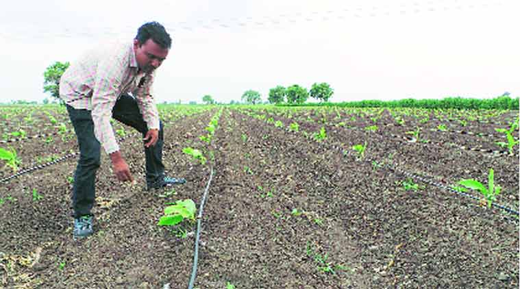 Mahajan in his newly planted banana field. (Express Photo)