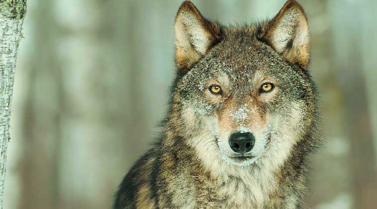 He-wolves are alpha males in every sense of the term, but it's the females who run the show
