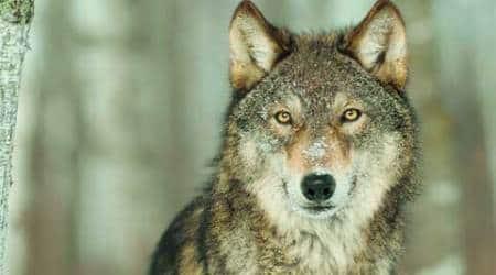 wolf-thumb