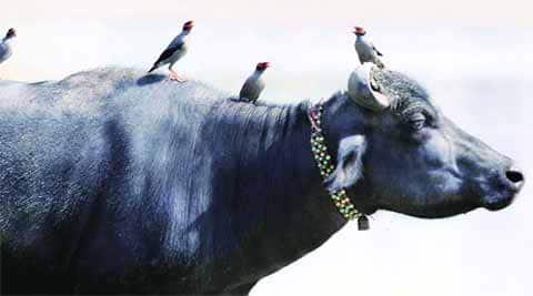 beef ban, J&K beef ban, beef ban J&K, J&K high court, J&K high court beef ban order, J&K beef, J&K police, J&K news, Kashmir news, India news