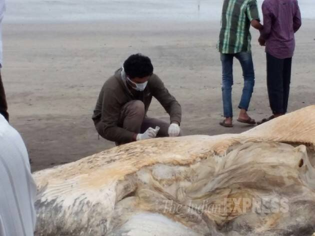 blue whale, blue whale maharashtra beach, blue whale carcass, whale maharashtra, blue whale stranded, mumbai news, india news