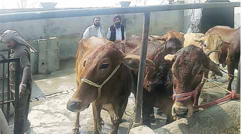 rss, mewat, cow, cow breeders, cow farmers, ahmedabad news, latest news