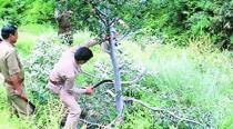 Why Himachal's forest officials were hacking at fruit-laden apple trees