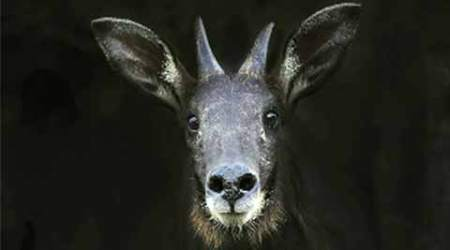 serows, serows death, serows death explained, serows death Mizoram, mizoram serow death, goat pox, mizoram goat pox, serow goat pox, Wildlife Act, Himalayan serow, Capricornis thar, International Union for the Conservation of Nature, IUCN