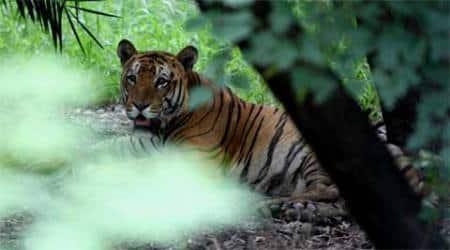 tiger corridor, goa tiger corridor, tigers in goa, Mhadei wildlife sanctuary, Rajendra Arlekar, goa environment minister, goa news