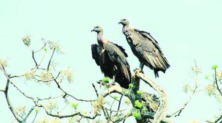 Caught on camera: Vulture chicks dying without food