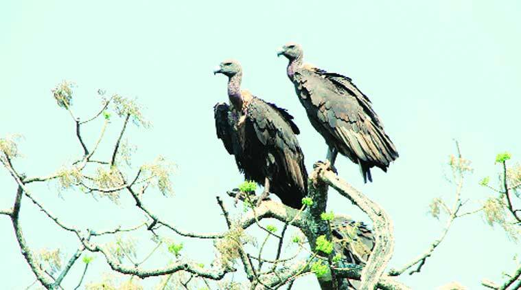Vulture, Vulture chicks, Western Ghats,vulture restaurants, Phansad Wildlife Sanctuary, Raigad district, Maharashtra vultures, india news, indian express news