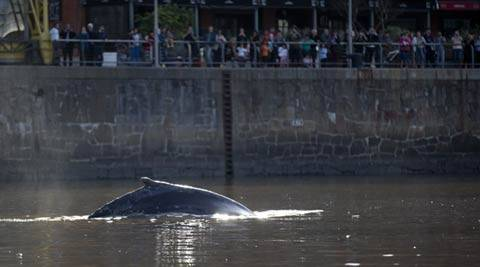 Whale appears alongside yachts in luxury Argentine area, hundreds capture moment on smartphones