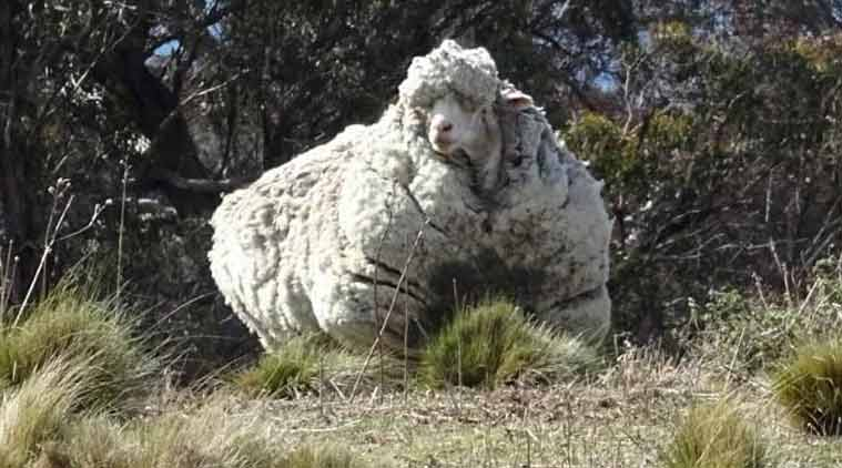 The Australian sheep was found by residents of Canberra and rescued by the RSPCA. (Source: Tammy Ven Dange Twitter account)