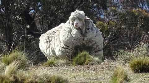 Australia: Lost overgrown sheep yields 42 kgs of wool, sets newrecord
