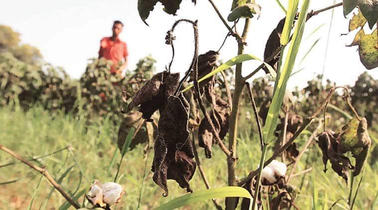 A damaged cotton plant at Muktsar. (Source: Express photo by Gurmeet Singh)