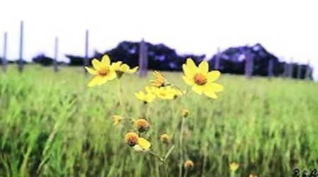 Kaas plateau at Satara: Dry spell casts a gloom in bloom season at tourist hotspot