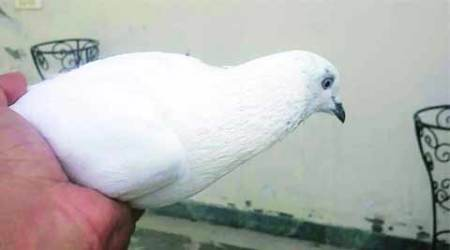 Agra pigeon contest scrapped after animal board objects