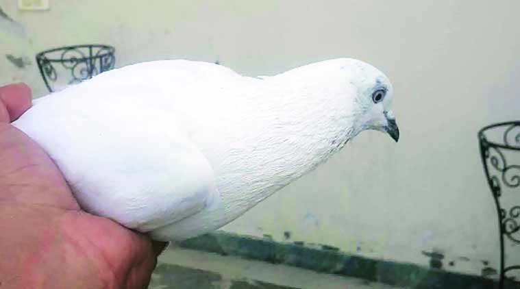 The pigeon was caught in a village in the Bamyal sector on the Indian side of the international border.   (Source: Express Photos)