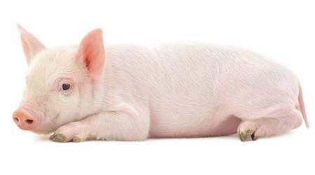 pigs_480
