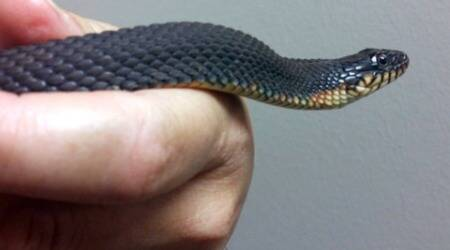This water snake likes rare things, reproduces again without a malecompanion