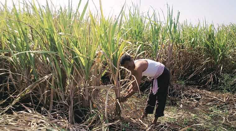 sugarcane, sugarcane farming, Maharashtra government, sugarcane cultivation, Maharashtra water crisis, Maharashtra drought zone, sugarcane cultivation ban, sugarcane farming ban, maharashtra sugar industry, sugarcane farming, india news, nation news