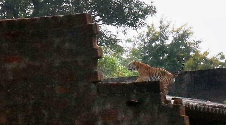 Bhopal, Bhopal tiger, Bhopal tiger news, Bhopal agricultural institute, Tiger in Bhopal agricultural institute, Madhya Pradesh news, Bhopal news, India News