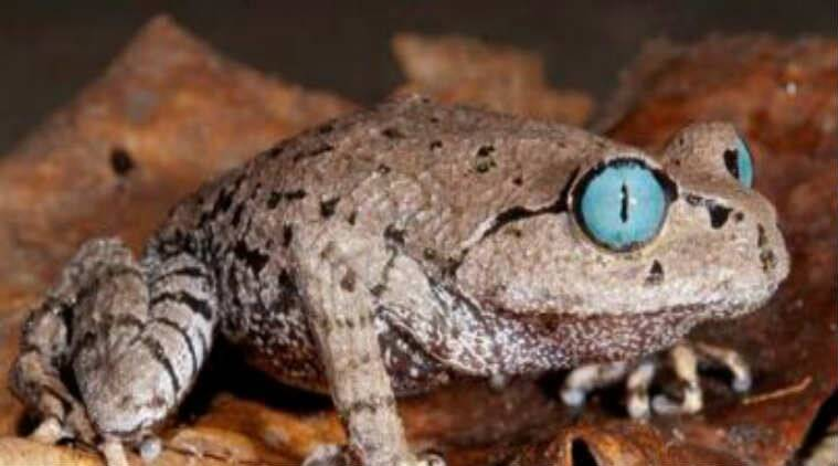 Blue-eyed frog discovered in Arunachal Pradesh/ WWF Report