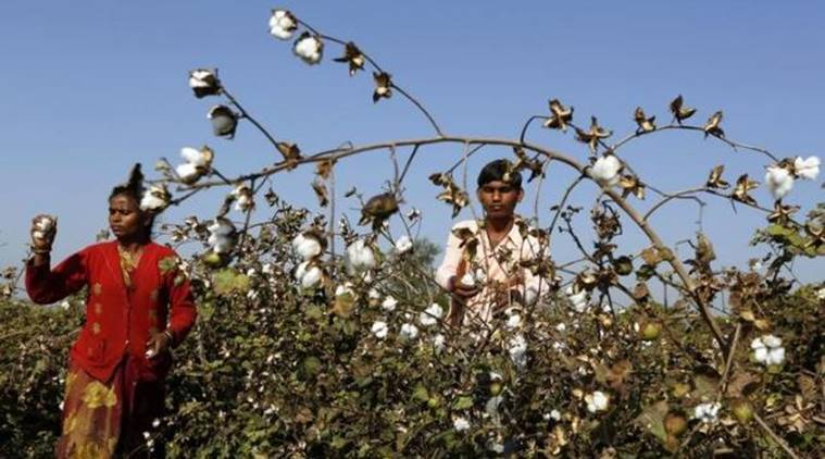 Farmers harvest cotton in a field in Nana Viramgam village in Gujarat. File Photo/Reuters