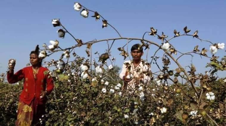 ahmedabad, gujarat, crops, farmers, farmers in gujarat, kharif crops, agriculture, urea, mansukh mandaviya, cotton, fertilisers, central govt, ahmedabad news, indian express news