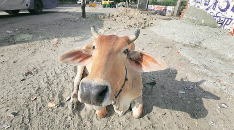 Most owners, say onlookers, let their cows wander on the streets to feed on trash. (Source: Express photo by Ravi Kanojia)