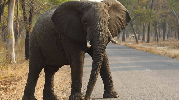 In this photo taken on Thursday, Oct. 1, 2015, an elephant crosses the road in Hwange National Park, about 700 kilometres south west of Harare. Fourteen elephants were poisoned by cyanide in Zimbabwe in three separate incidents, two years after poachers killed more than 200 elephants by poisoning, Zimbabwe's National Parks and Wildlife Management Authority said Tuesday, Oct. 6, 2015. (AP Photo/Tsvangirayi Mukwazhi)