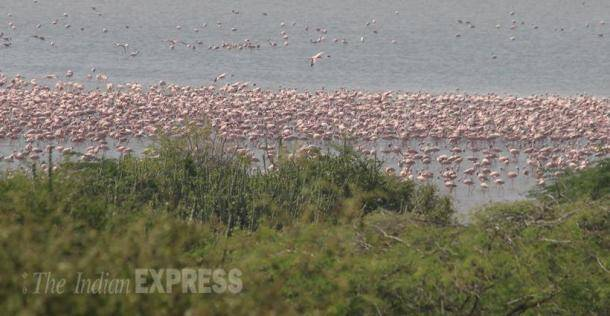 flamingo, flamingo bird, flamingo photos, flamingo images, flamingo pictures, flamingo pics, flamingo in Gujarat, flamingo in khadir island, flamingo great rann of kutch, one lakh flamingo, flamingo fly, flamingo roosting, flamingo species, flamingo in monsoon, greater flamingo, flamingo state bird, flamingo gujarat