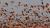 flamingo, flamingo bird, flamingo photos, flamingo images, flamingo pictures, flamingo pics, flamingo in Gujarat, flamingo in khadir island, flamingo great rann of kutch, one lakh flamingo, flamingo fly, flamingo roosting, flamingo species, flamingo in monsoon, greater flamingo, flamingo state bird, flamingo gujarat