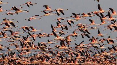 More than one lakh lesser flamingoes roosting in Great Rann of Kutch