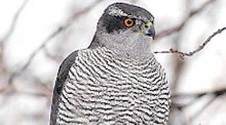 26 years on, Punjab says not 'Eastern' but Northern Goshawk is official bird