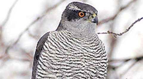 goshawk, national bird, official bird, punjab bird. northern goshawk, eastern goshawk, india news